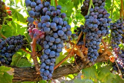 grapes-tempranillo